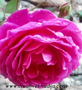rose images