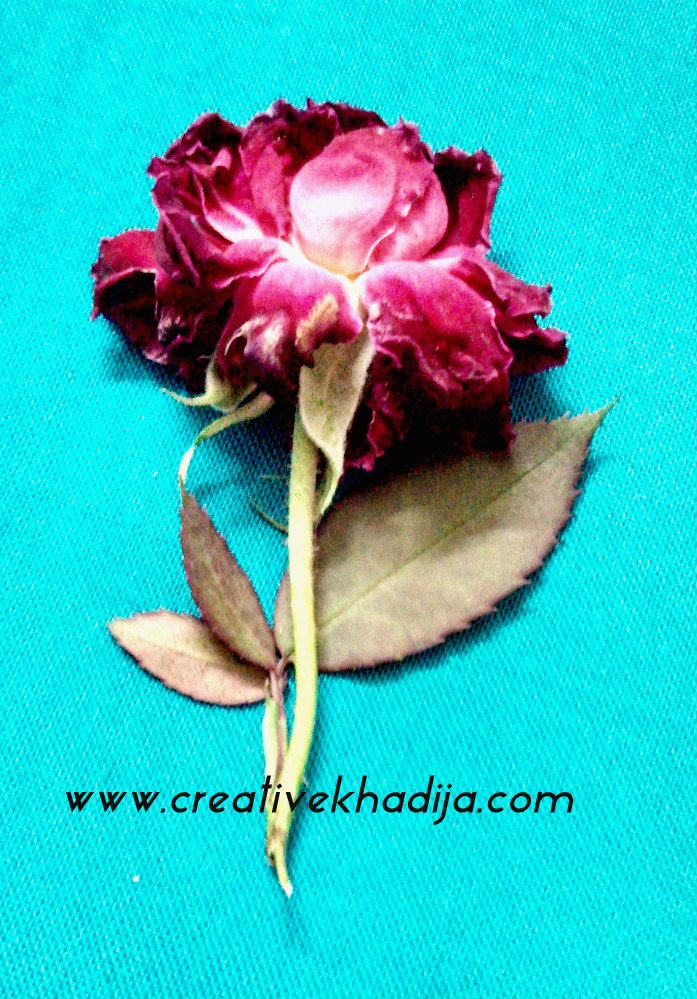 rose flower photography