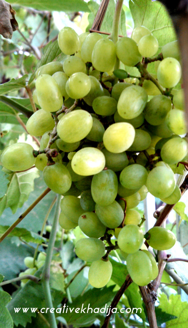 fresh grapes photography